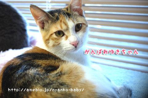 三毛猫ゆきちゃん