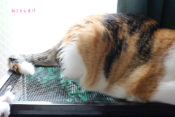 レオパ観察する猫