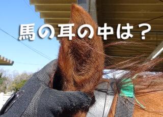 馬の耳そうじ