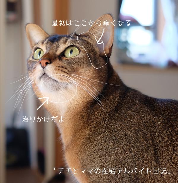 猫のアトピー