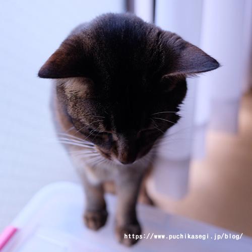 猫のアビイ
