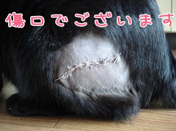 肥満細胞腫の手術傷跡写真