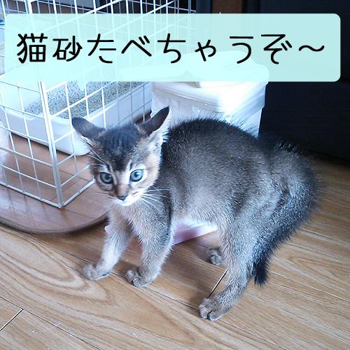 子猫が猫砂たべちゃうぞ~